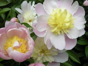 Pink peony medly on The Fabulous Garden