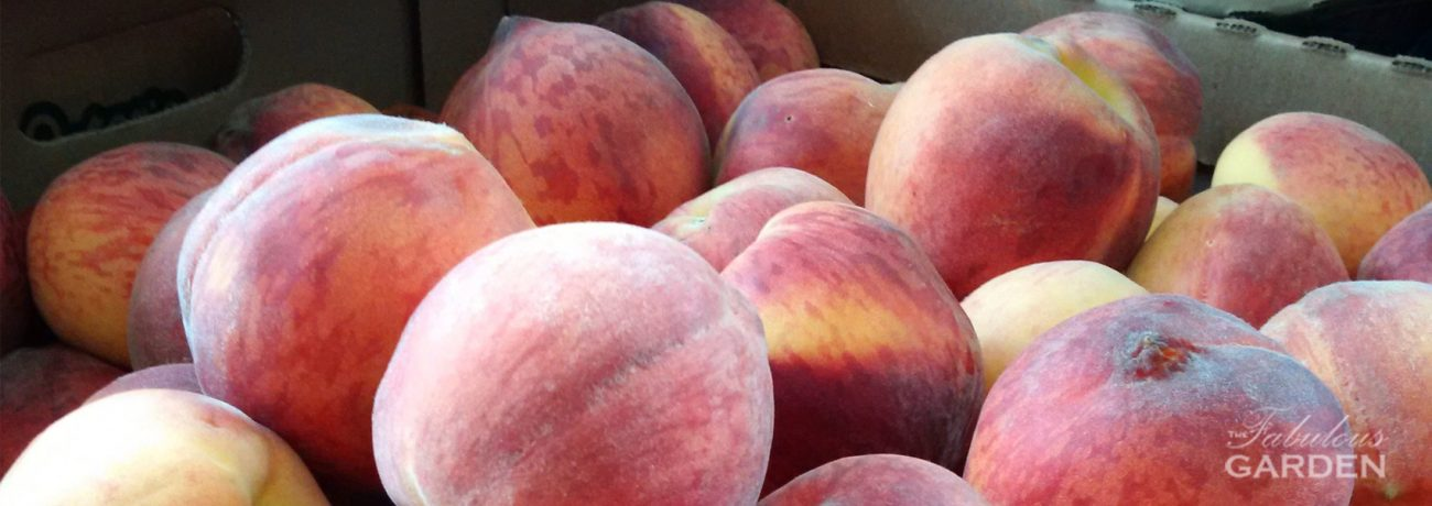 Close up of ripe peaches