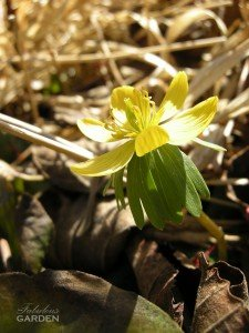 winter aconite glowing in the sun