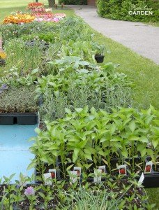 Flats of seedlings for sale at a community plant sale