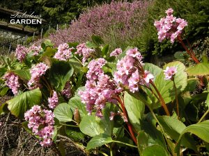 Bergenia and Heather