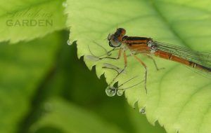 closeup of dragonfly eating a winged insect