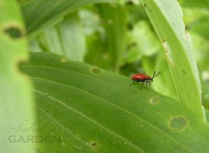 red lily beetle on a holey lily leaf