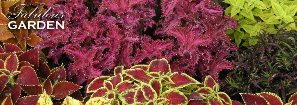 several varieties of brightly coloured coleus