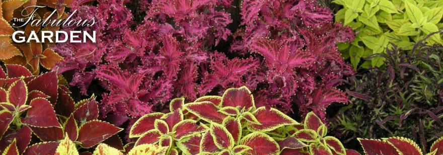 Coleus, the most useful plant