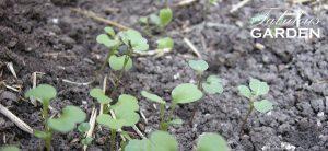 seedlings coming up in soil