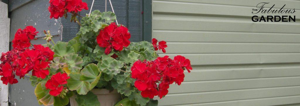 hanging basket of geraniums