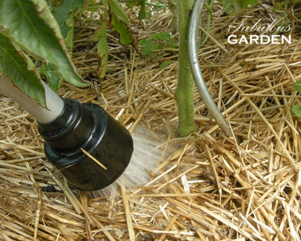 water spray directed at base of tomato plant
