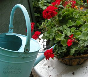 watering can pouring water into basket of geraniums