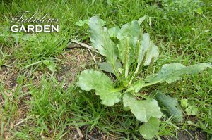 Weeds in your lawn?