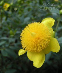 A variety of St. John's Wort in full bloom