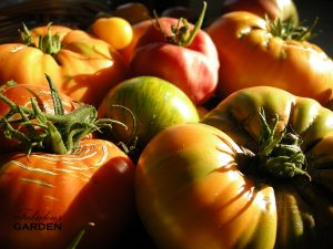 Heirloom tomatoes destined for the canning pot