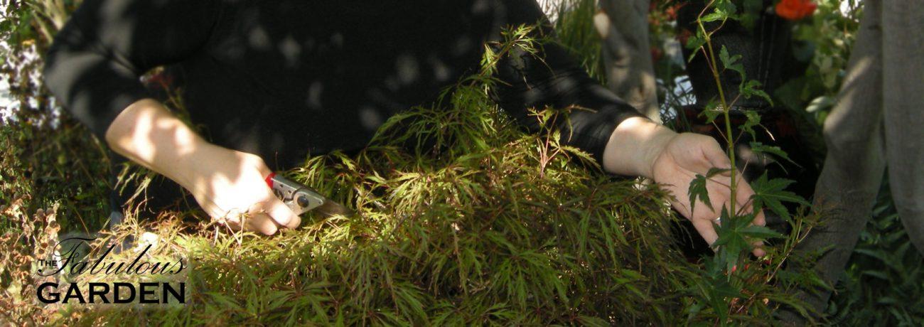 secateurs pruning japanese maple