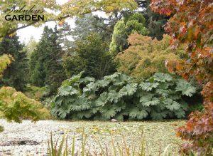 Giant rhubarb in a fall scene at VanDusen Botanical Garden