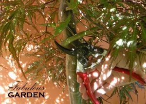 pruning japanese maple with felco secateurs
