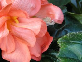 Saving begonias, dahlias and cannas for next year