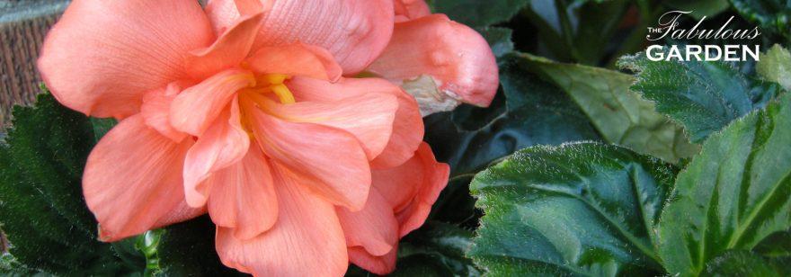 Saving begonias, dahlias and cannas for next year