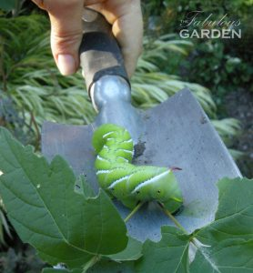 Manduca sexta tobacco hornworm on a trowel