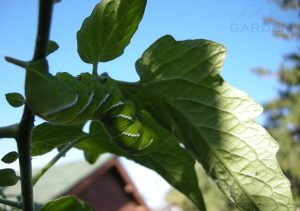 Manduca sexta tobacco hornworm under a tomato leaf