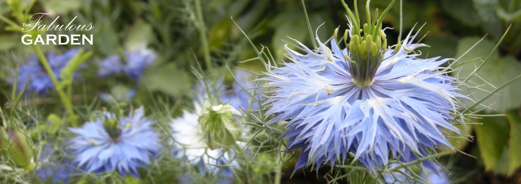 Plant profile: Nigella
