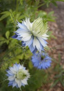 White and blue nigella opening