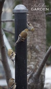 Finches love nyjer seed in a tube feeder
