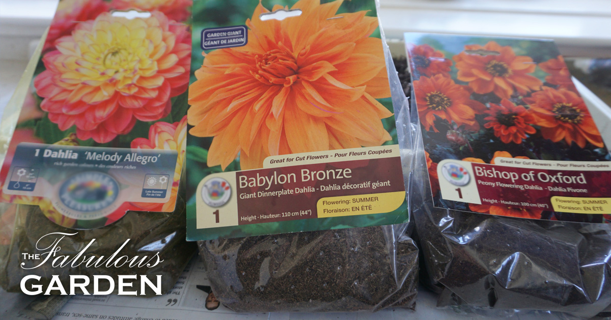 Dahlias Are Easy To Grow And Now Is The Time Plant Them