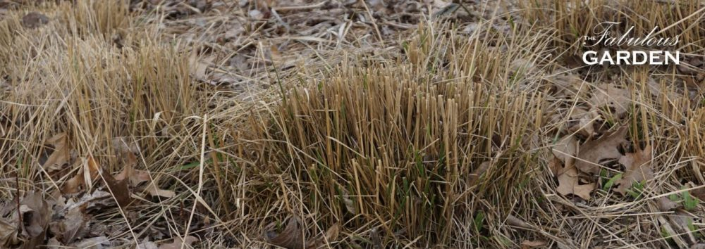Seven Pre Season Garden Tasks - including cutting back ornamental grasses