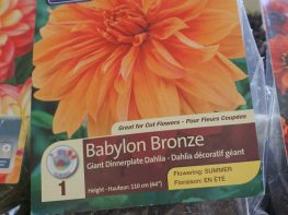 Dahlias are easy to grow and now is the time plant them!