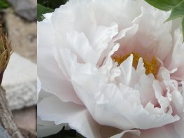 Tree peonies – how do you prune them?