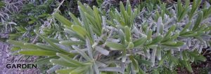 Lavender with new growth, ready to be pruned