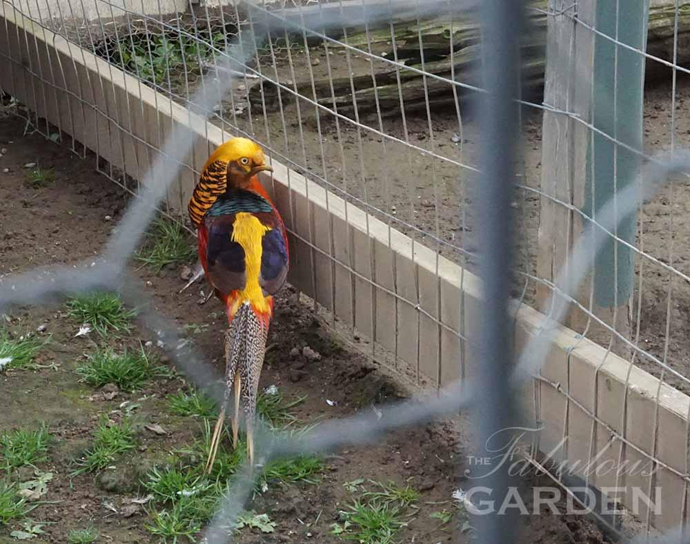 Golden Pheasant at Whistling Gardens Aviary