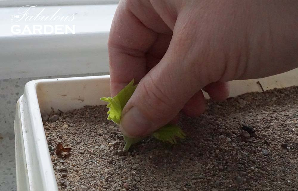 Root coleus cuttings in a tray of sand