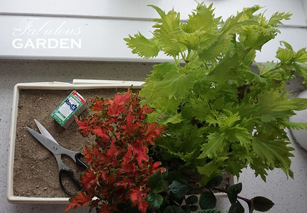 Making coleus cuttings is easy, and requires just a few supplies