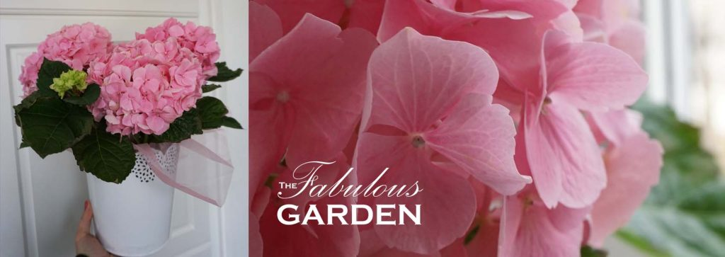 Hydrangea Pink Sensation - how to care for it