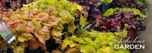 How to grow Heuchera (aka Coral Bells)