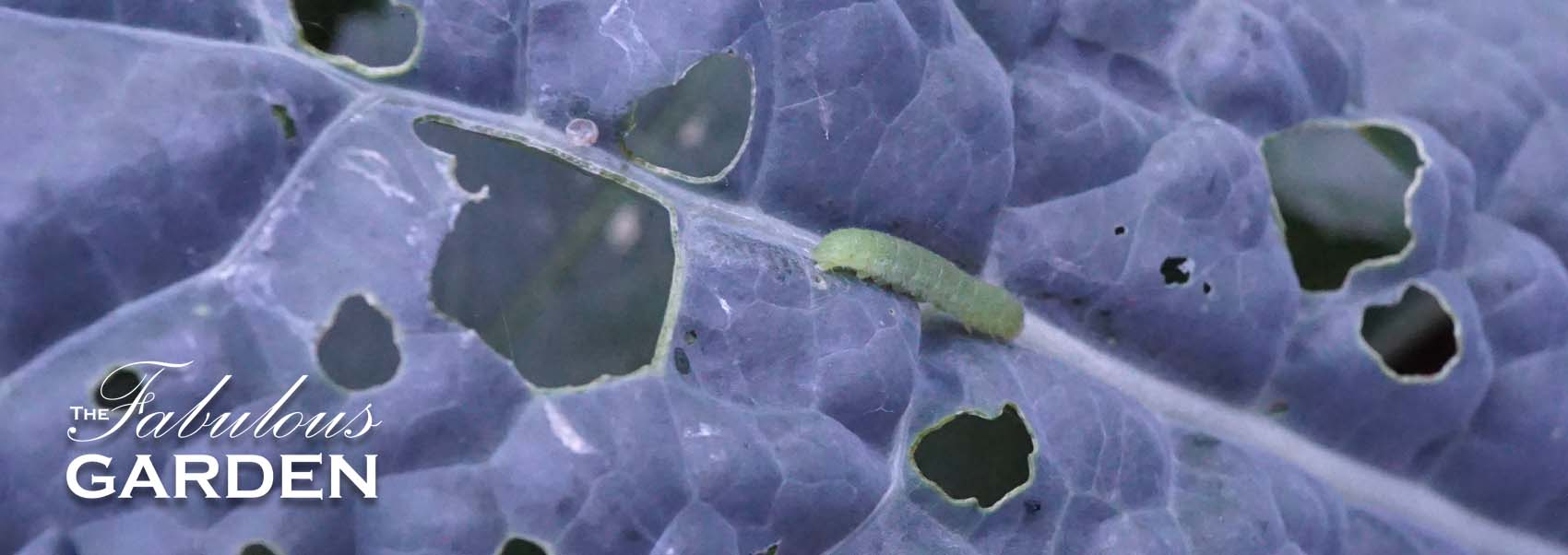 How to keep cabbage worms from eating your kale