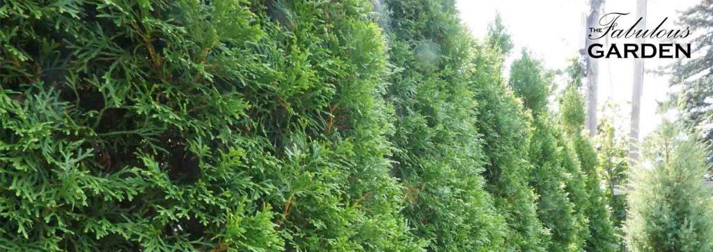 What can you grow near cedar trees?