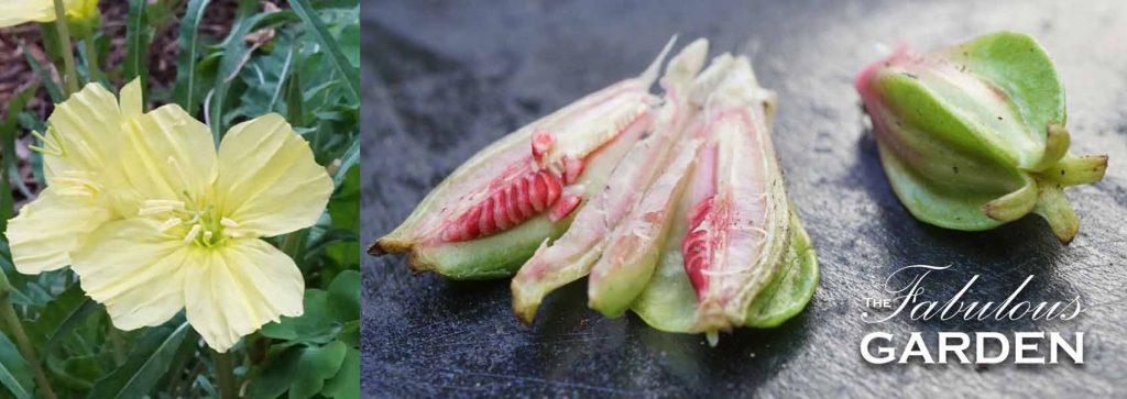 How to save seeds from Oenothera flava, Night Blooming Primrose