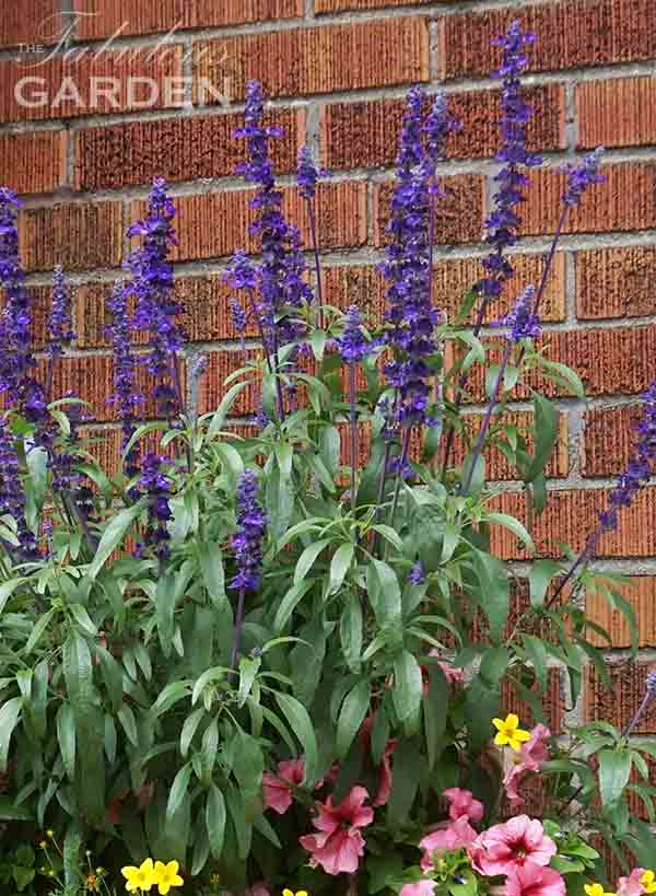 Annual Salvia works well in containers in sunny locations