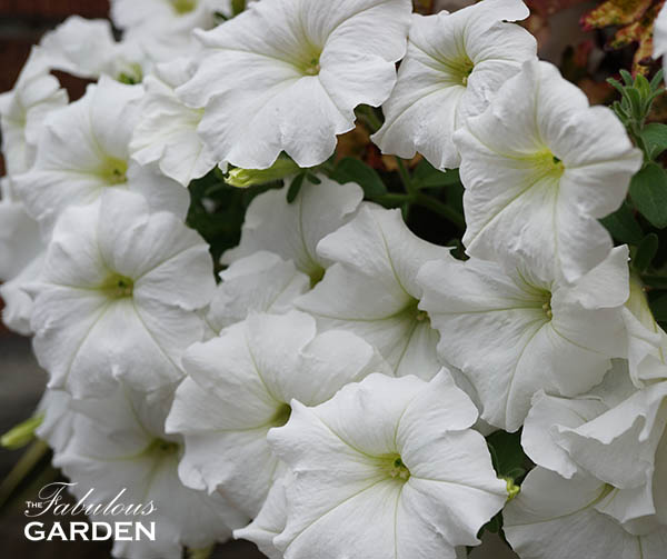 Petunias love sun and work well as fillers, and even spillers, in pots