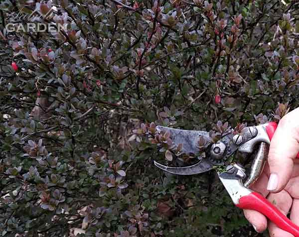 How to Prune a Barberry