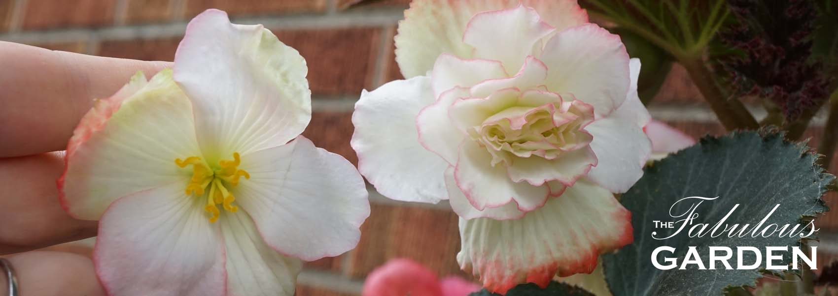 How To Have More Big Begonia Blooms The Fabulous Garden