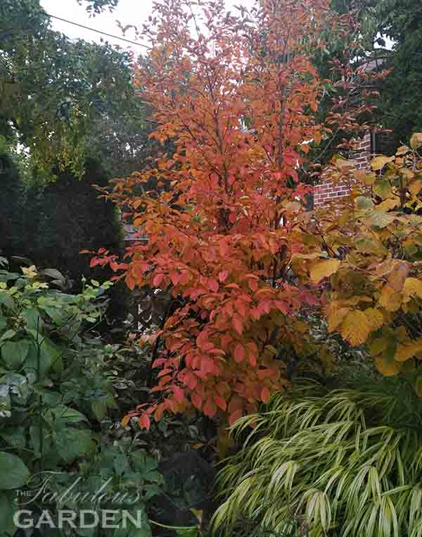 Japanese Stewartia in fall