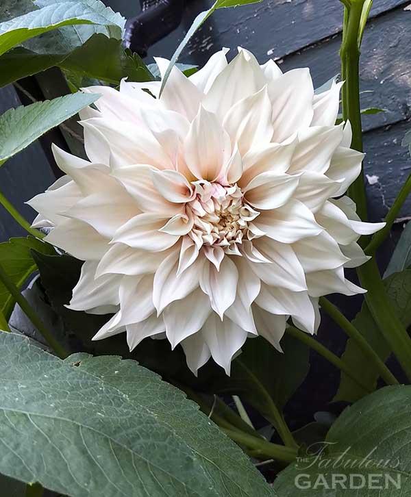 creamy white dahlia in full bloom