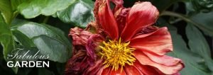 Old dahlia bloom